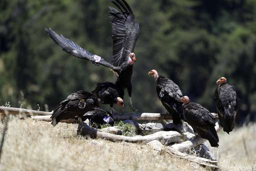 California condor takes flight in wild after near extinction