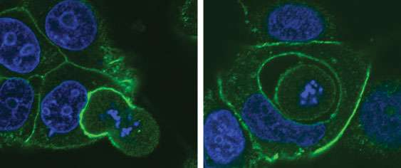 Cannibal cells may limit cancer growth