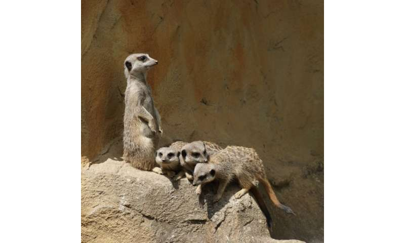 Captive meerkats at risk of stress