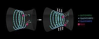 Chromosome mechanics guide nuclear assembly