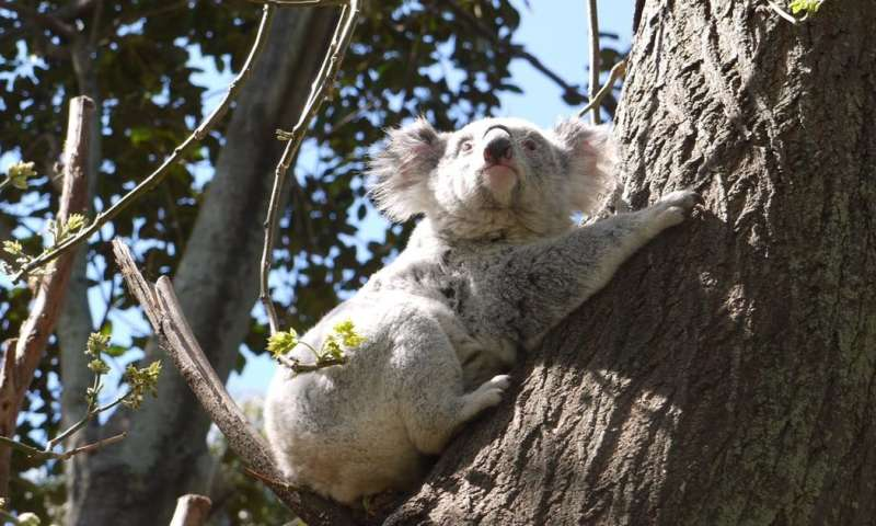 Chronic stress and habitat loss are flooring koalas