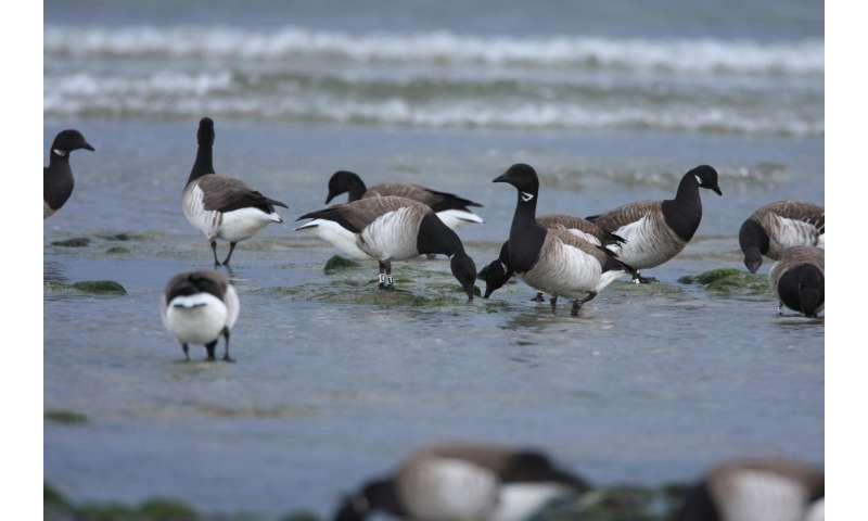 Climate change has mixed effects on migratory geese