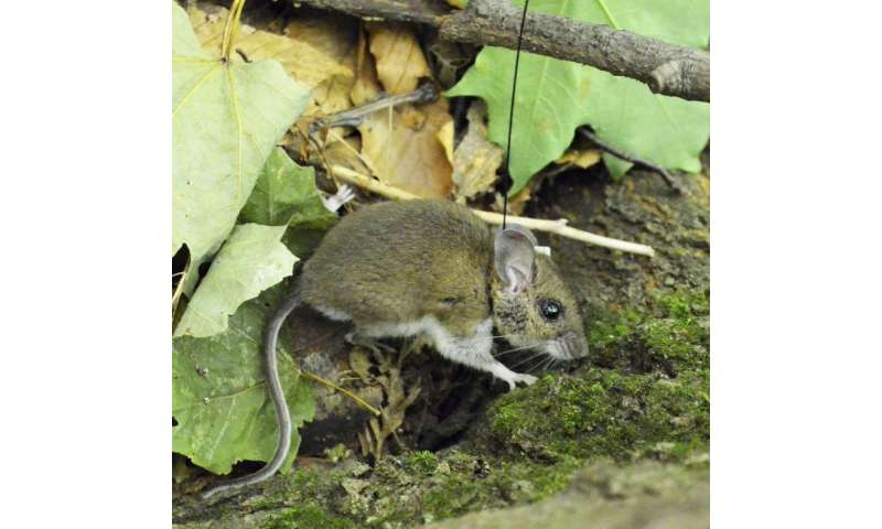 Collaring the mice that carry lyme disease-causing ticks