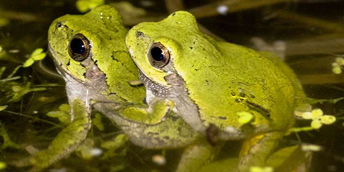 Cope's gray treefrogs meet the cocktail party problem