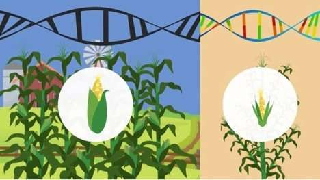 Corn genetics provides insight into the crop's historical spread across the Americas