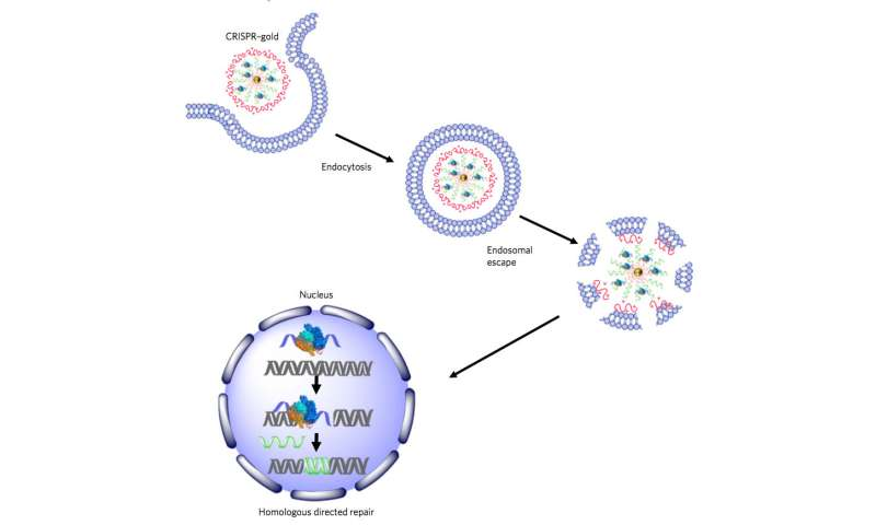 'CRISPR-Gold' fixes Duchenne muscular dystrophy mutation in mice