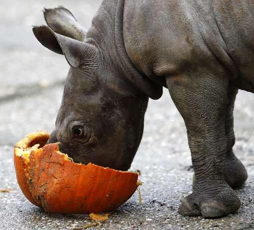 Czech zoo cheers birth of endangered eastern black rhino