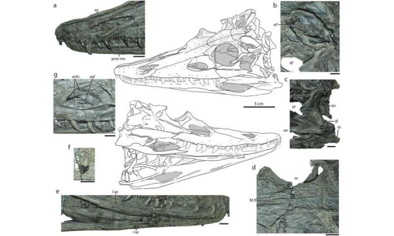 Diandongosuchus—the strange-faced transitional phytosaur