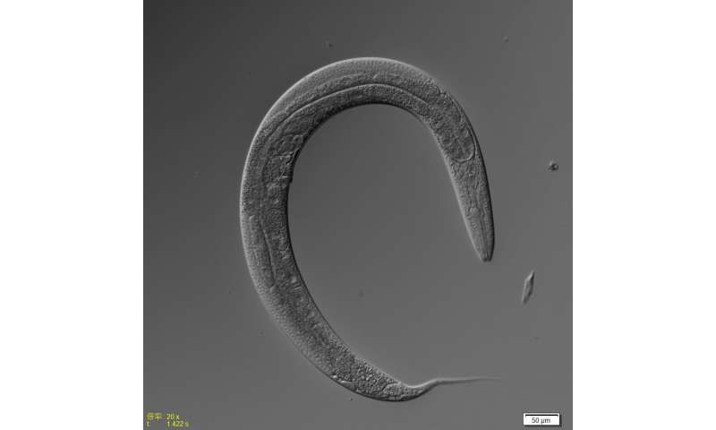 Dietary restriction and life span in male and hermaphrodite worms