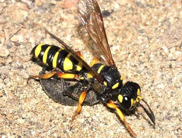 Digger wasps and their chemistry
