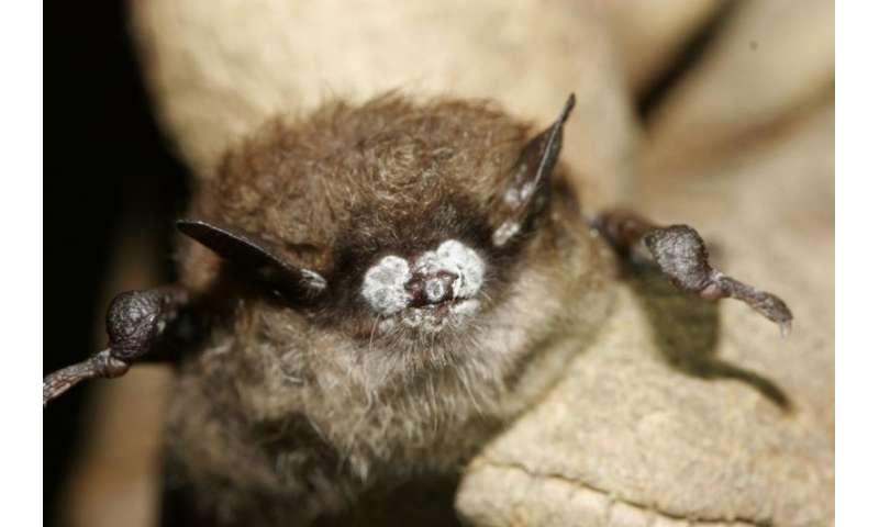 Evolution of a killer—researchers study traces deadly fungus affecting bats