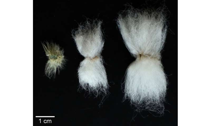 First step taken toward epigenetically modified cotton