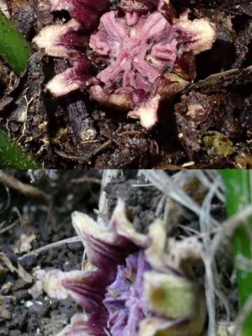 Flower attracts insects by pretending to be a mushroom