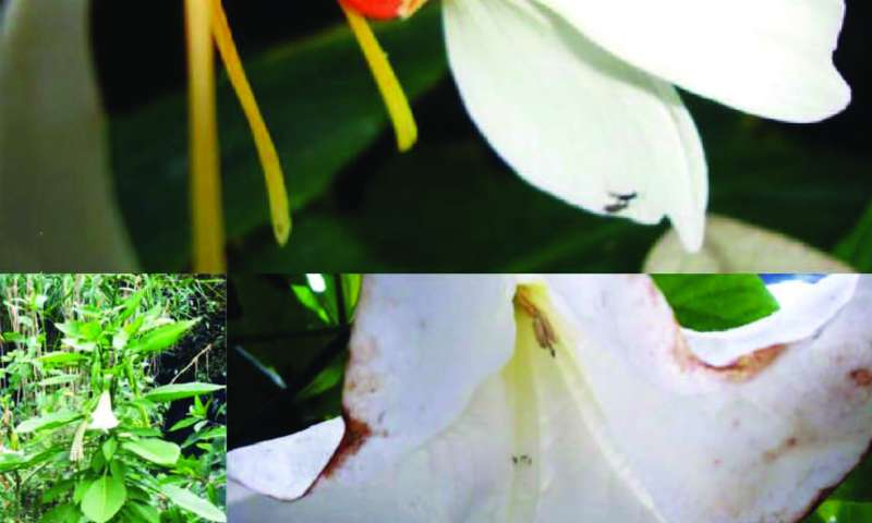 Four new fruit fly species from the Himalaya and information about their flower visitation