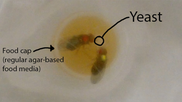 Frisky female fruit flies become more aggressive towards each other after sex