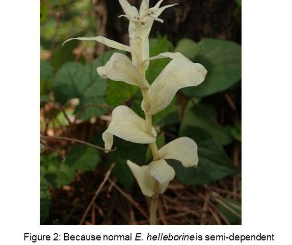 Genes in albino orchids may hold clues to parasitic mechanism used by non-photosynthetic plants