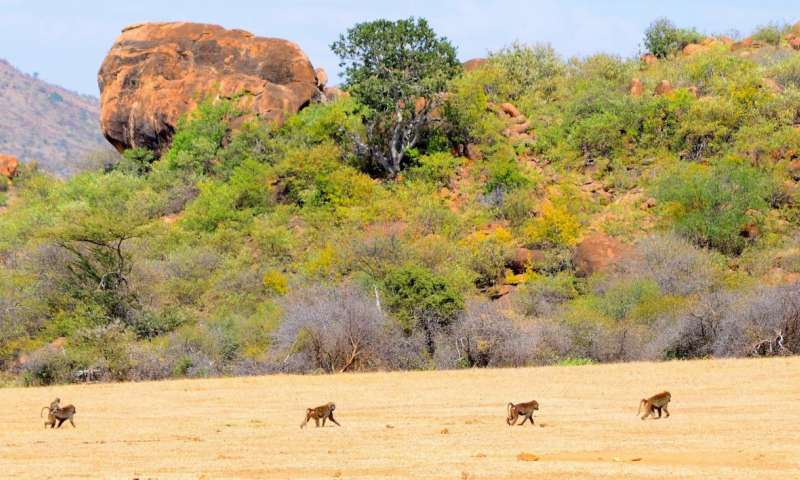 Habitat features and social behavior impact how baboons move as a group