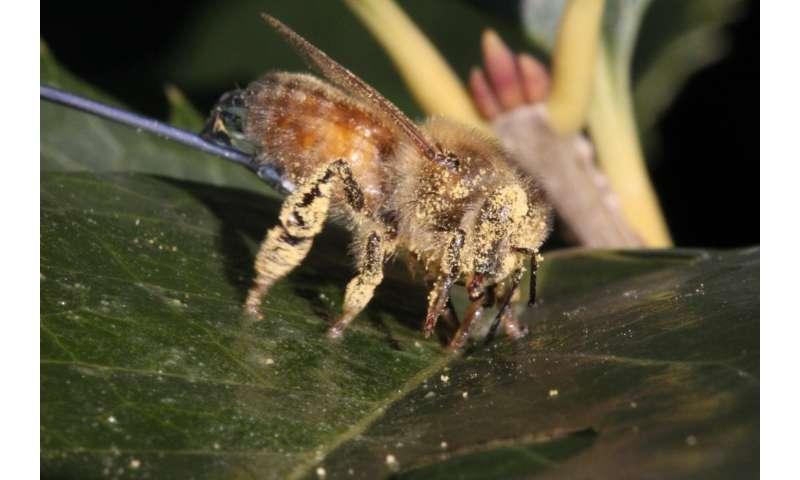 Hair spacing keeps honeybees clean during pollination