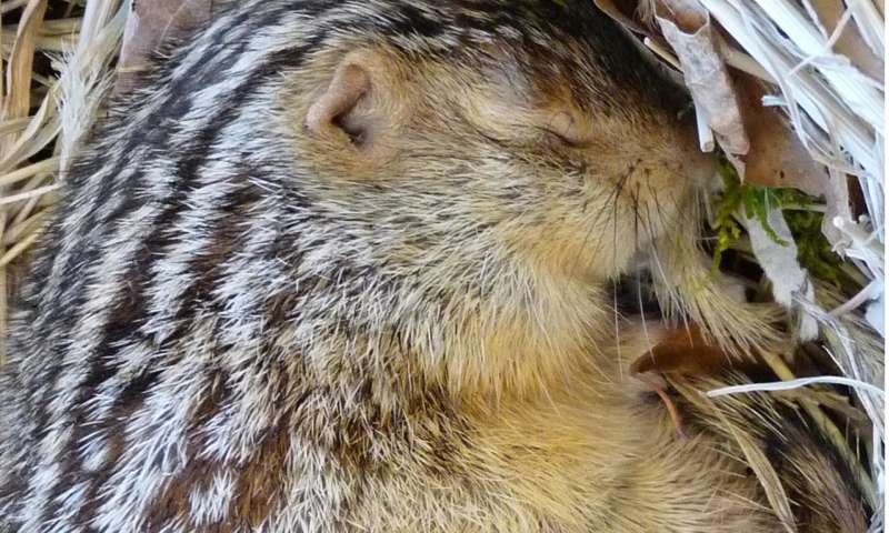Hibernating squirrels and hamsters evolved to feel less cold