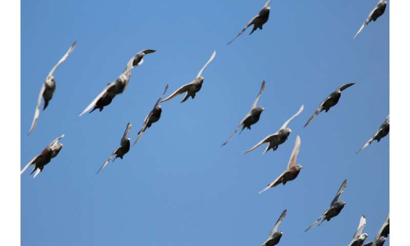 Homing pigeons share our human ability to build knowledge across generations