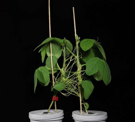 Host plants communicate warning signals through a parasite network, when insects attack