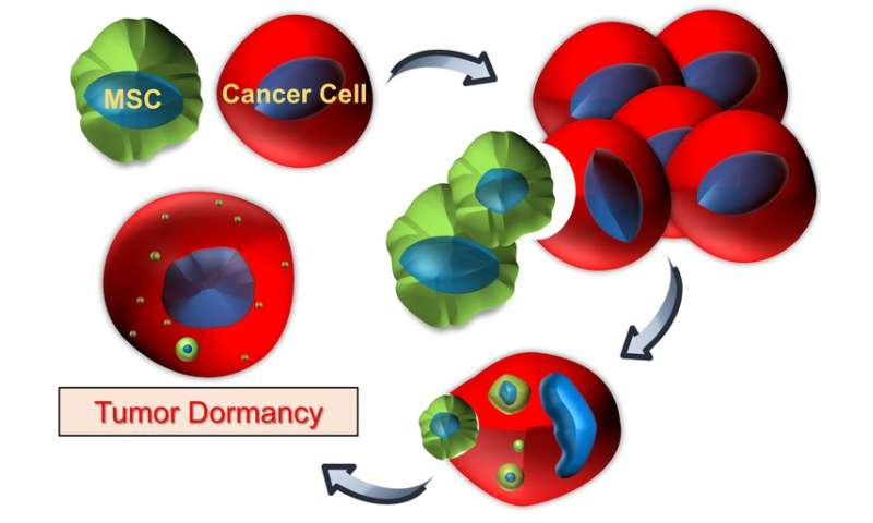 How 'cannibalism' by breast cancer cells promotes dormancy: A possible clue into cancer recurrence