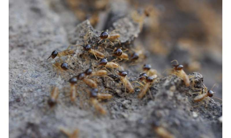 How cathedral termites got to Australia to build their 'sky-scrapers'