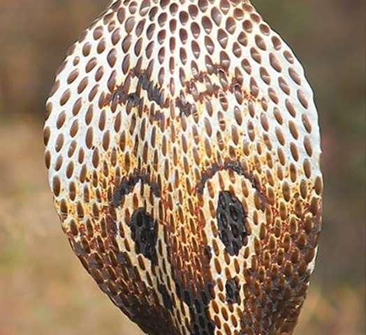 How cobras developed flesh–eating venom