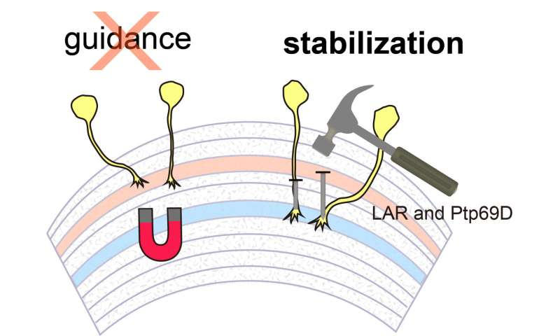 How developing visual system axons stay in the correct layer