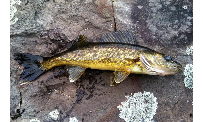 Illinois sportfish recovery a result of 1972 Clean Water Act, scientists report