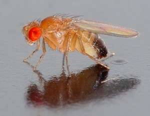 Inflammatory responses in flies give insights into human diseases