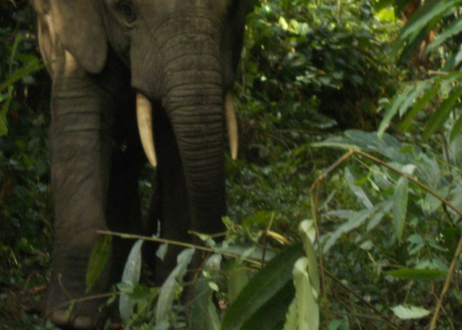 Initial survey results reveal a worrying decline in Guinea's forest elephant population