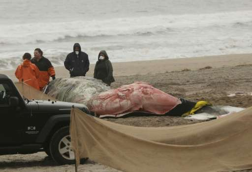 Investigators are probing the reasons behind an unusually high number of humpback whale deaths since 2016 off the US Atlantic Co