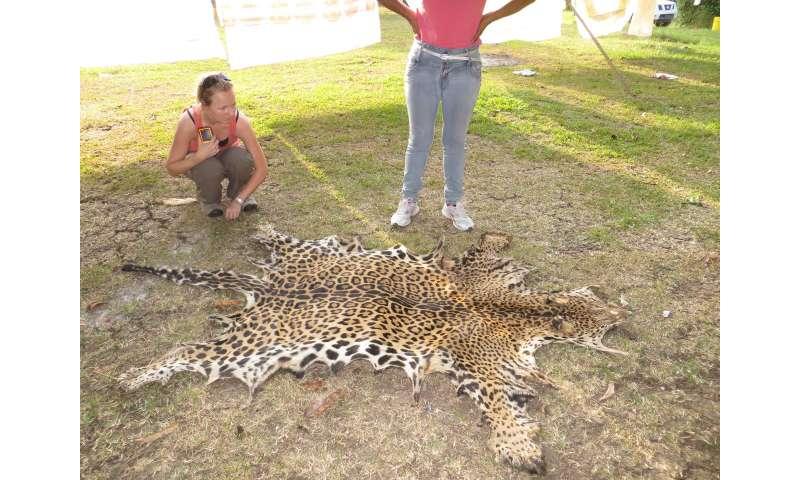 Jaguar conservation depends on neighbors' attitudes