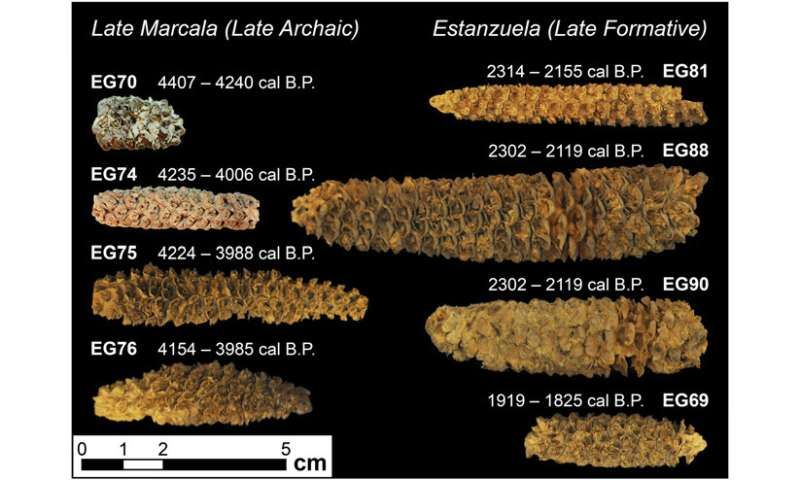 Maize from El Gigante Rock Shelter shows early transition to staple crop