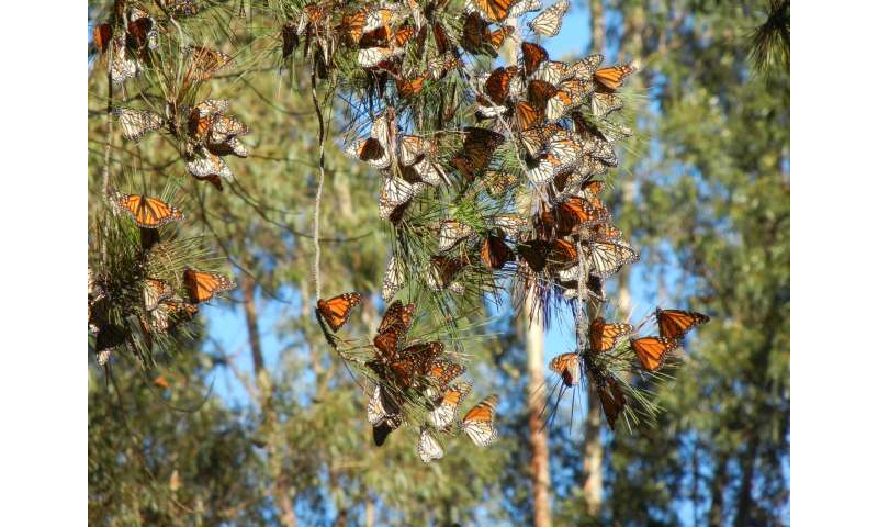 Monarch butterflies disappearing from western North America