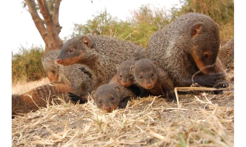 Mongoose pups conceal identity to survive
