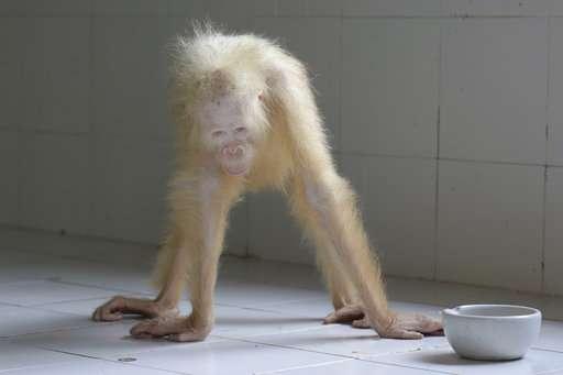 Name sought for rare albino orangutan rescued in Indonesia