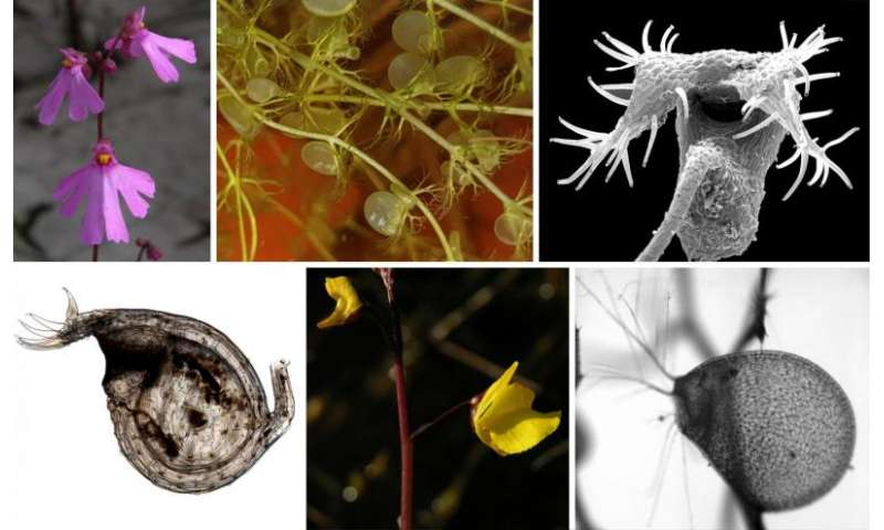 New findings on the biomechanics and evolution of suction traps in carnivorous bladderworts