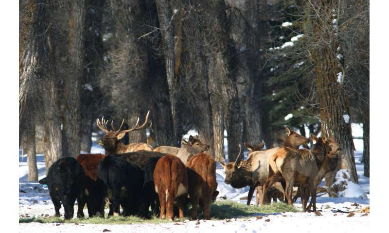 New mapping tool tracks elk migration to reduce brucellosis risk