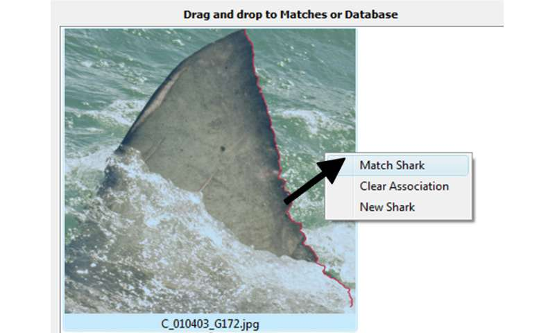 New software will standardize data collection for great white sharks