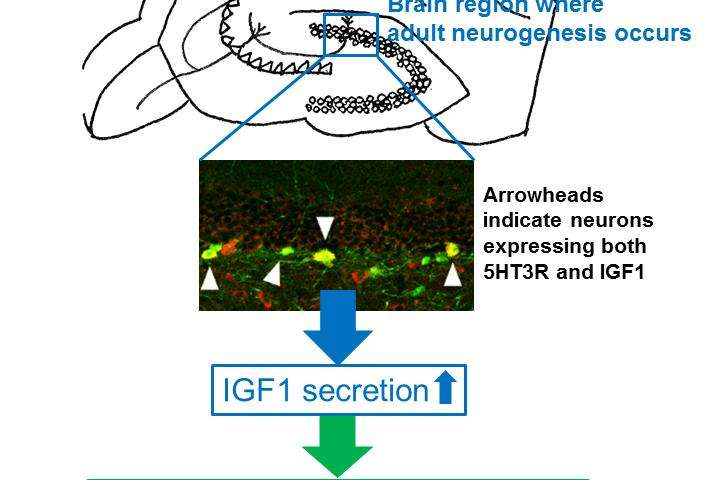 Novel mode of antidepressant action may help patients unresponsive to SSRIs