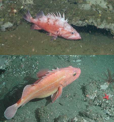 One fish, two fish—using a new MBARI-designed camera system to count rockfish