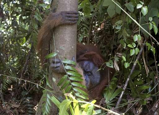 Palm oil kills orangutans in Indonesia peat swamp