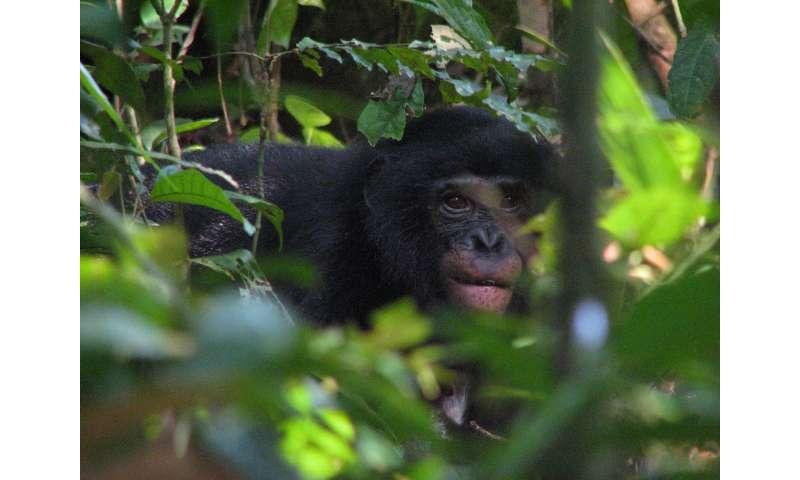 Penn study identifies new malaria parasites in wild bonobos