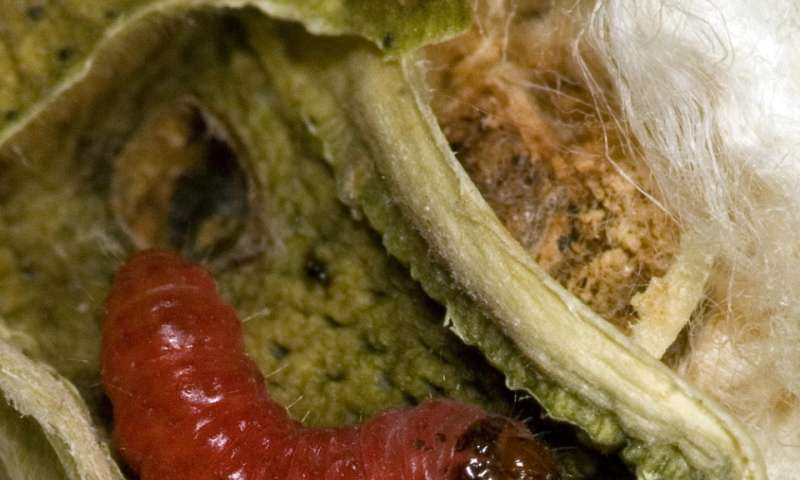 Pest resistance to biotech crops surging
