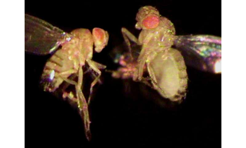 Plus-sized fly: a model to understand the mechanisms underlying human obesity