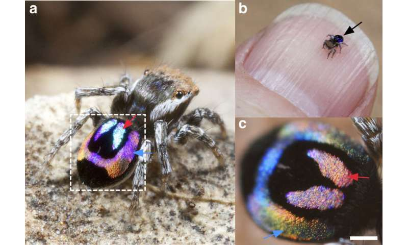 Rainbow peacock spiders may inspire new optical technologies
