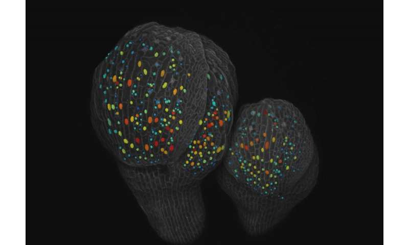 Random process may determine specialized cells in organs