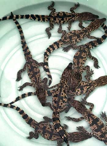 Rare crocodile eggs hatched at Cambodian conservation center